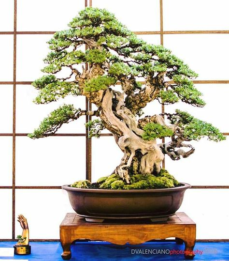 Pin By Keith Ireland On Bonsai Cherry Blossom Bonsai Tree Bonsai Plants For Sale Bonsai Trees For Sale