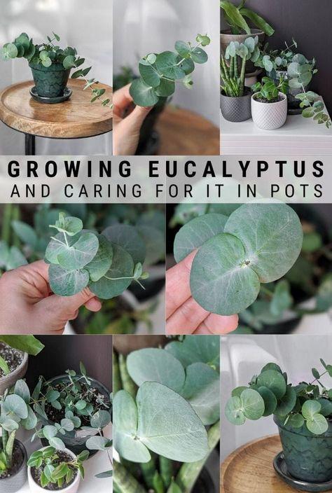 Dried Eucalyptus, Eucalyptus Plant Indoor, Diy Gardening, Container Gardening, Outdoor Plants, Outdoor Gardens, Potted Plants, Indoor House Plants, Gardens