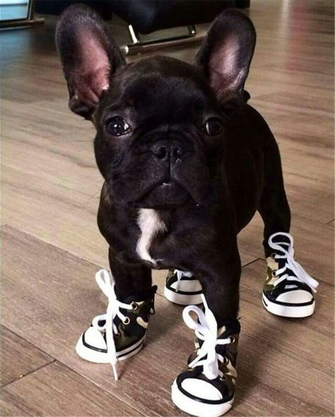 French bulldog in tennis shoes