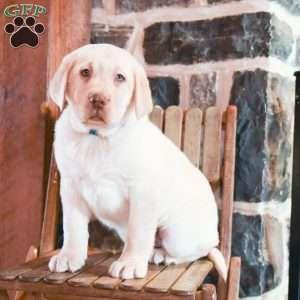 Puppies For Sale Under 500 Price Under 500 Greenfield Puppies In 2020 Golden Labrador Puppies Labrador Retriever Puppies Puppies For Sale