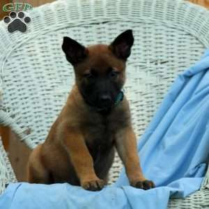 Belgian Malinois Puppies For Sale Greenfield Puppies Malinois Puppies Belgian Malinois Puppies Malinois Puppies For Sale