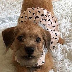 San Antonio Tx Dachshund Meet Samantha Lynn A Pet For Adoption
