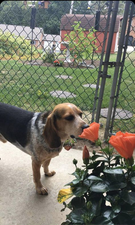 Cute Beagles, Cute Puppies, Dogs And Puppies, Doggies, Pet Dogs, Dog Cat, Cute Little Animals, Cute Funny Animals, Vacaciones Gif
