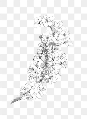 Cherry Blossoms Pear Flower Flower Branch Black And White Ink Coloring Graphic Design Png Transparent Clipart Image And Psd File For Free Download Flower Png Images Flower Backgrounds White Flower Background