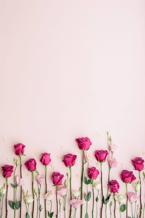 Pink roses on a pink background by Ruth Black for Stocksy United