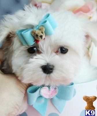 Maltese Puppies Puppies Kitties Maltese Dog Breed Maltese