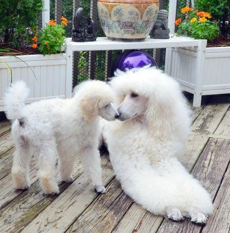 Find Out More On The Very Smart Poodle Personality Poodlemaltese