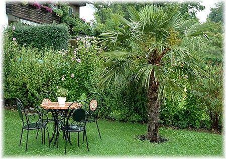 Hanf Palme Trachycarpus Fortunei Kubelpflanzen Pflanzen Garten