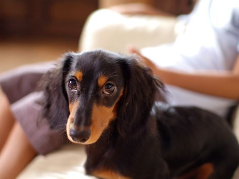 Gretchen Dog Breeds Guard Dog Breeds Dachshund