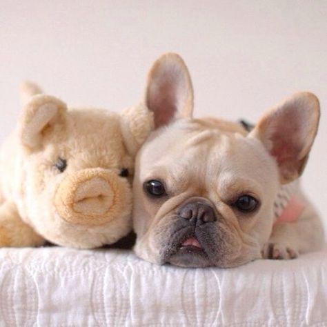 French Bulldog and his 'Piggy'. For more cute puppy pics visit www.prettyfluffy.com