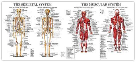 Image result for skeletal system medviz skeletal system pinterest fandeluxe Choice Image