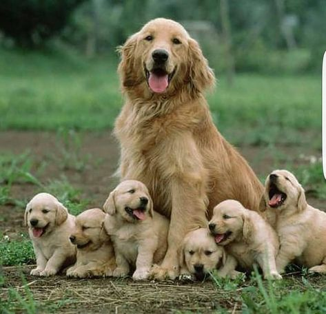 Get Healthy And Ethically Bred Golden Retriever Puppies For Sale