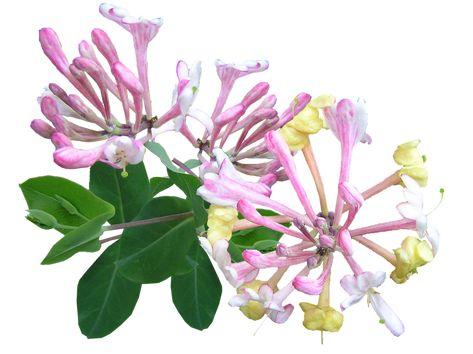 Oil Honeysuckle B Pink Perfume Orange Flowers Perfume