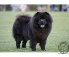 Want To Buy Chow Chow Dog Know About Temperament Amp