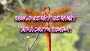 แมงปอ แมงโกก แมงคนโซ แมงกองแขน แมงระงำ แกง ปลา