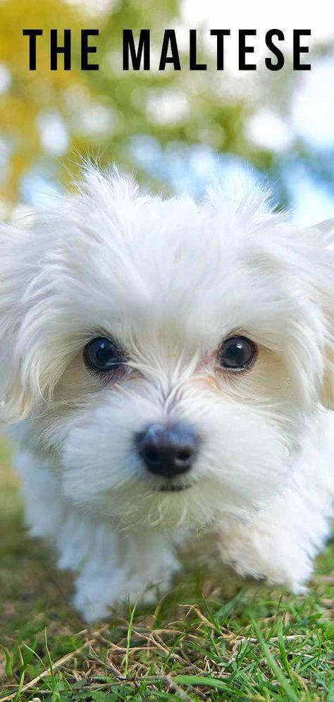 Maltese Dog Breed Information Center The Ultimate Fluffy White Puppy In 2020 Maltese Dog Breed Maltese Breed Dog Breeds