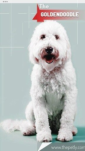 Pin By Knitting Love Gram On Goldendoodle Goldendoodle Dogs