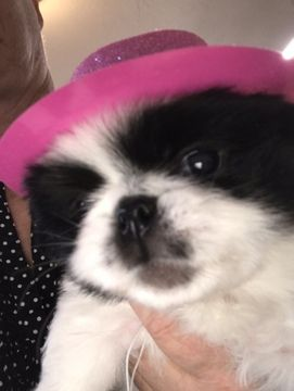 Litter Of 4 Japanese Chin Puppies For Sale In Salem Or Adn 67575