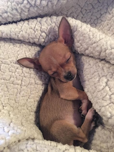 Pippa, my brother's teacup chihuahua puppy, sleeping in my lap. I think her ears get bigger every time I see her! Teacup Chihuahua Puppies, Cute Chihuahua, Baby Puppies, Cute Puppies, Cute Dogs, Dogs And Puppies, Teacup Pomeranian, Chihuahuas, Doggies