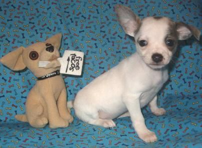 Chichibabies Chihuahuas Cici Chihuahua Puppies For Sale