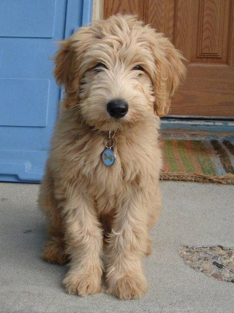 Next Litters For Beau Monde California Labradoodles A Close Drive From San Diego Los Angeles And Labradoodle Puppy Australian Labradoodle Puppies Labradoodle