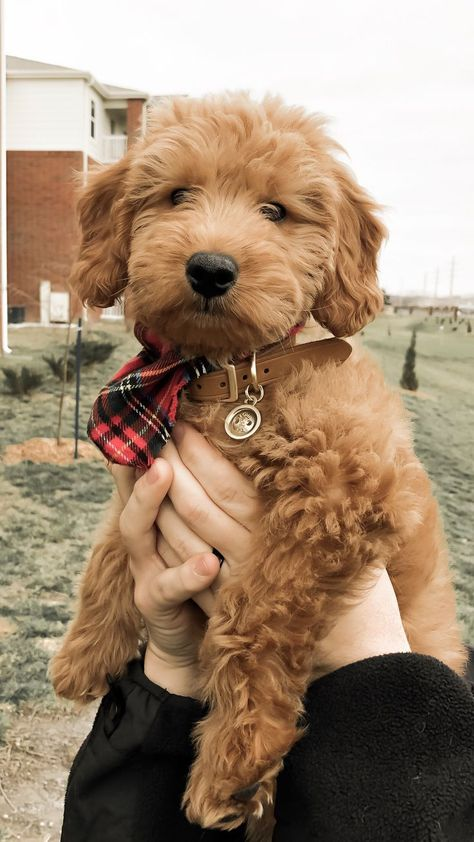 Goldendoodle Puppy. Grooming Puppy Coat    Dog Grooming    Meds To Give Dogs. #dogoftheday #Awwwww!!!!!. Want to know more, click on the image.