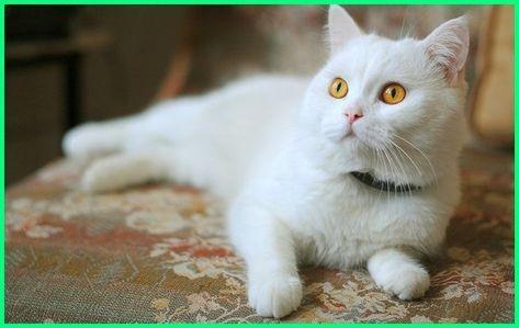 Nama Kucing Jantan Yang Bagus Lucu Dan Keren Russian White Cat Funny Cat Videos Cat Wallpaper