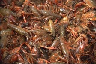 How To Raise Crawfish For Food Shrimp Farming Aquaponics Fish Fish Farming