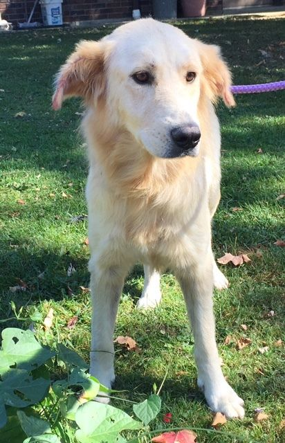 Youngstown Oh Usa Purebred English Lab Puppies Chocolate And