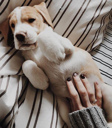 ❤️ Les papouilles sur le ventre c'est la vie !!!!  ________________________________________________________ #nana #babydog #beagle #love #socute #instapic #latelierderoxane #teamgourmandise #jevousaime