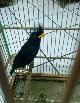 Mengenal Jenis Burung Jalak Thailand Beserta Harganya Jalak Burung Thailand