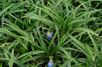 "ophiopogon japonicus ""nana"" dwarf mondo grass  can use as turn for lawn substitute  can be planted in the shade"