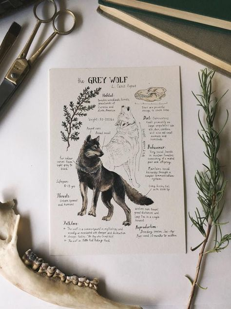Printed on Natural Savoy Cream Cotton Paper, this print features one of my Natural Science journal entries of the Grey Wolf. Originally drawn in watercolor and ink. Dimensions: 5 x 7