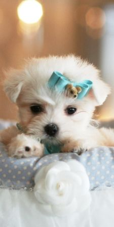Maltese Puppy..want so bad!!