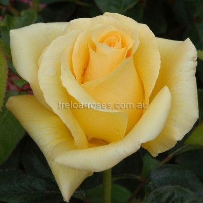 GLORIOUS :- This highly recommended rose flowers freely on a strong and healthy bush.