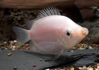 53 Kissing Gouramis ideas   kissing gourami, fish pet, fish