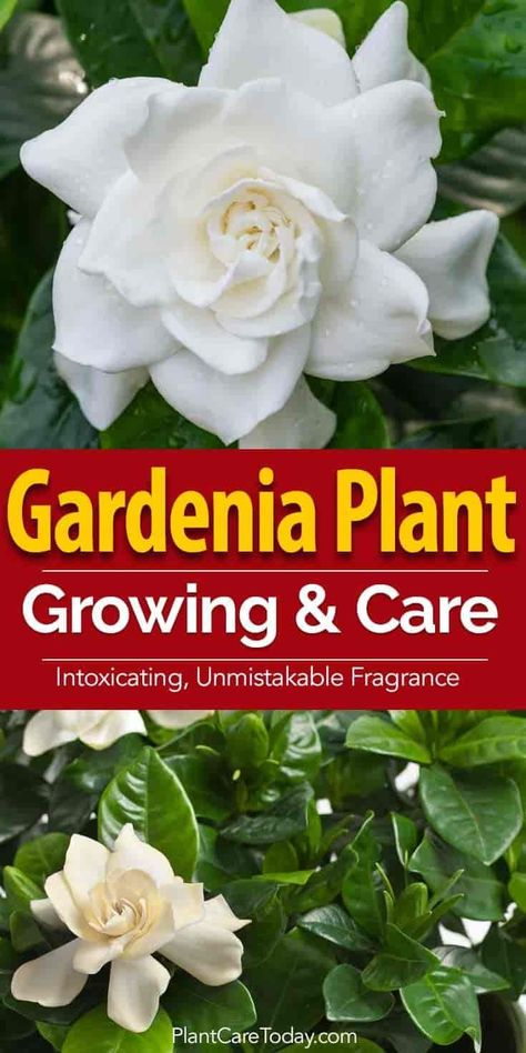 The Beautiful Waxy White Flower Of The Gardenia Plant Fills The