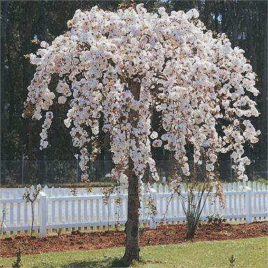 Bagged Prunus Subhirtella Pendula Weeping Cherry Weeping Cherry Tree Weeping Trees Prunus