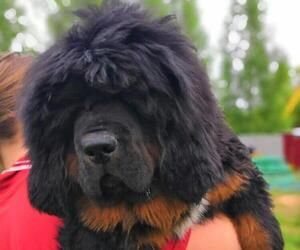 Tibetan Mastiff Dog For Adoption In Moscow Moscow Russia Dog Adoption Tibetan Mastiff Dog Mastiffs