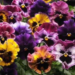 Check out the deal on Pansy Fizzy Fruit Salad Mix 250 seeds at Hazzard's Seeds