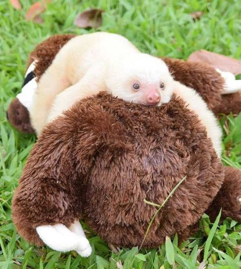 Baby Sloth Cuddling a Plush Sloth