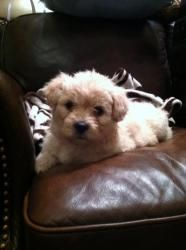 Carmella Is An Adoptable Maltese Dog In Fort Worth Tx Meet