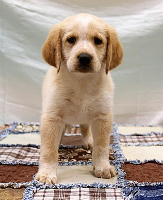 Bedminster Nj Golden Retriever Meet Argo A Dog For Adoption