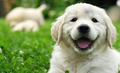 Puppies For Sale Under 500 Price Under 500 Greenfield Puppies Greenfield Puppies Golden Retriever Smiling Dogs