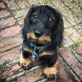 Unique Dogs With Incredibly Amazing Coats In 2020 With Images Dachshund Dog Dogs Weenie Dogs