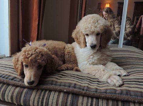 Deux Petits Chiots Provenant De L Elevage Allure Royale