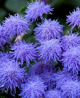 Ageratum How To Grow And Care For Floss Flower Garden Design Flower Garden Design Garden Design Flower Seeds
