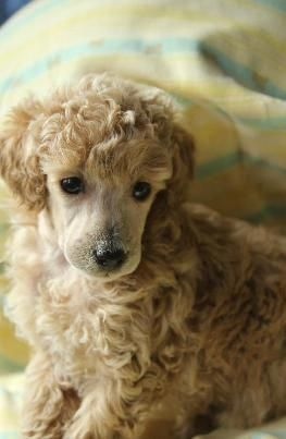 Find Out More On The Poodle Dog Health Poodletime Poodle Feature