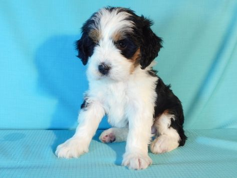 Miniature Bernedoodle Puppy For Sale In Millersburg Oh Adn