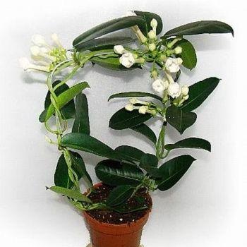 Stefanotis Bukietowy Uprawa Pielegnacja Wymagania Flowers Plants Garden